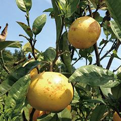 本来の価値で柑橘農家さんと消費者をつなぐ再生プロジェクト